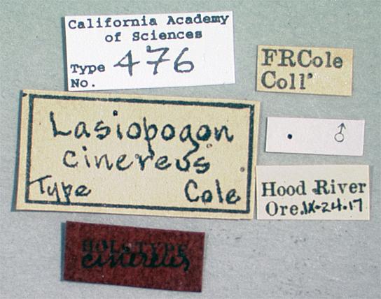 Lasiopogon cinereus image