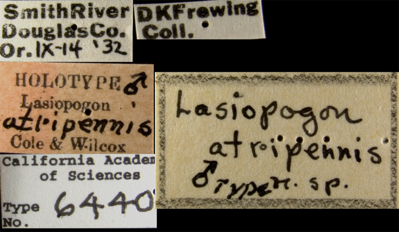 Lasiopogon atripennis image