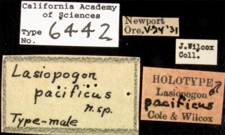 Lasiopogon pacificus image