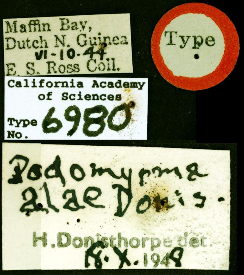 Formicoxenini image