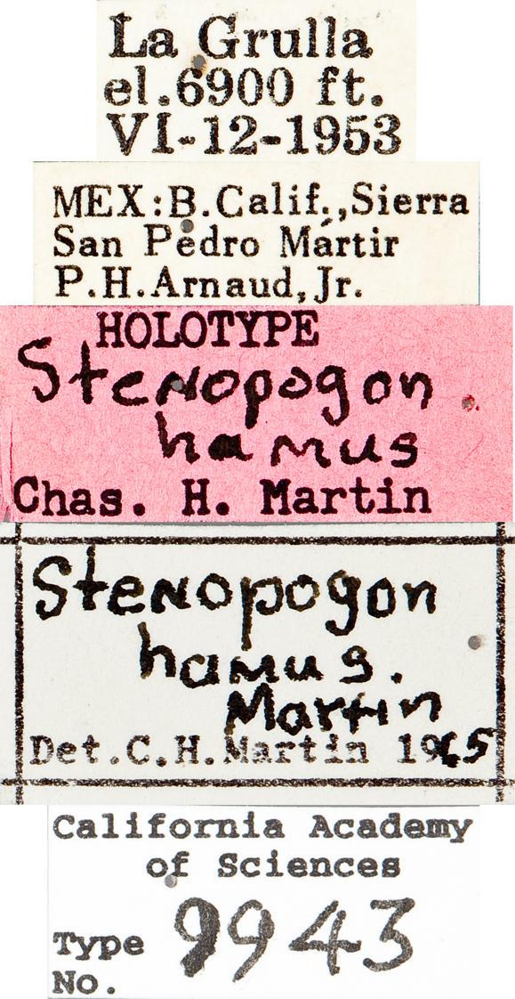 Image of Stenopogon hamus