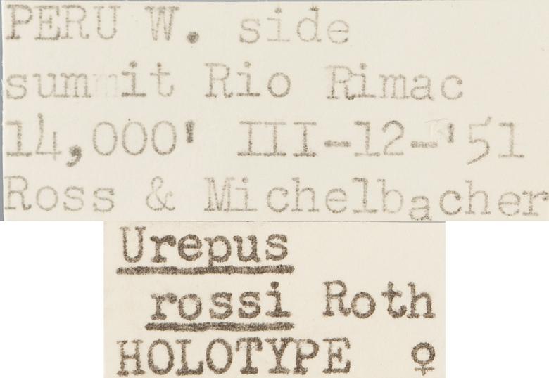 Urepus rossi image