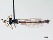 Leptogaster arida image