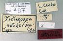 Image of Metapogon setigerum