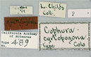 Image of Cophura cyrtopogona