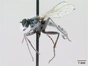 Lasiopogon littoris image