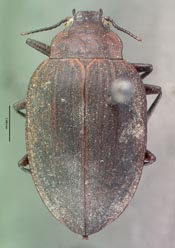 thumbnail of image of Coleoptera : Amphizoa planata  Van Dyke CAS TYPE 02453 holotype Click here to see a larger image on the right