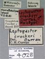 Image of Leptogaster crockeri
