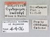 Image of Cyrtopogon swezeyi