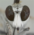Lissoteles acapulcae image