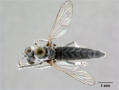 Lissoteles austrinus image
