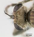 Lasiopogon californicus image