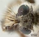 Lasiopogon chaetosus image