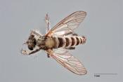 Lasiopogon gabrieli image