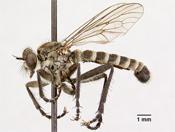Lasiopogon pugeti image