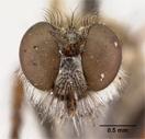 Lasiopogon testaceus image