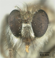 Lasiopogon zonatus image