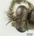 Lasiopogon dimicki image