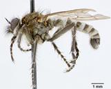 Lasiopogon willametti image