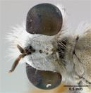 Laphystia utahensis image