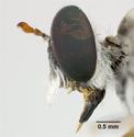 Laphystia martini image