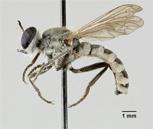Laphystia brookmani image
