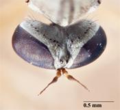 Leptogaster cultaventris image