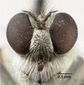Lasiopogon martinensis image
