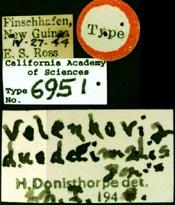 Image of Vollenhovia duodecimalis