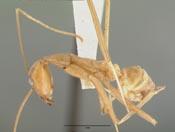 Leptomyrmex wheeleri image