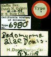 Image of Podomyrma alae