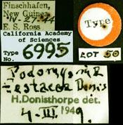 Image of Podomyrma testacea