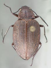 thumbnail of image of Coleoptera : Amphizoa carinata  Edwards CAS TYPE 08130 holotype Click here to see a larger image on the right