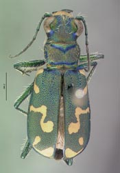 thumbnail of image of Coleoptera : Cicindela senilis frosti Varas Arangua CAS TYPE 08149 syntype Click here to see a larger image on the right
