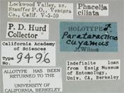 Image of Parataracticus cuyamus