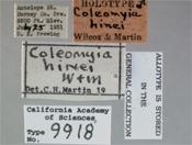 Image of Coleomyia hinei