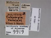 Image of Coleomyia rainieri