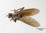 Image of Ospriocerus painterorum