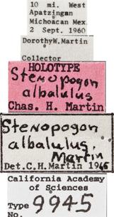 Image of Stenopogon albalulus