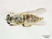 Image of Mallophorina durangoensis