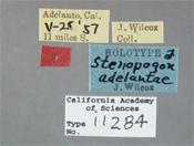 Image of Stenopogon adelantae