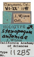 Image of Stenopogon antoniae