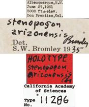 Image of Stenopogon arizonensis