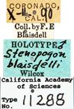 Image of Stenopogon blaisdelli