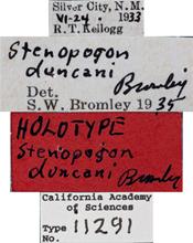 Image of Stenopogon duncani