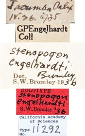 Image of Stenopogon engelhardti