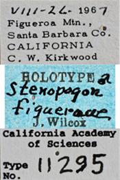 Image of Stenopogon figueroae