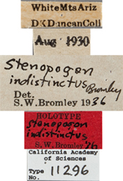 Image of Stenopogon indistinctus
