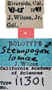 Image of Stenopogon lomae