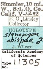 Image of Stenopogon obispae